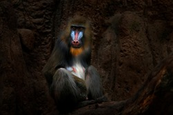 Mandrill, Mandrillus sphinx, sitting on tree branch in dark tropical forest. Animal in nature habitat, in forest. Detail portrait of monkey from central Africa, forest in Gabon.