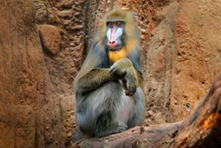 Mandrill, Mandrillus sphinx, sitting on tree branch in dark tropical forest with rock. Animal in nature habitat, in forest. Detail portrait of monkey from central Africa, forest in Gabon.