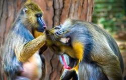 Mandrillus sphinx. Mandrill baboons in zoo scene