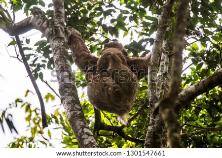 Maned sloth photographed  in Santa Maria de Jetibá, Espírito Santo - Southeast of Brazil. Atlantic Forest Biome. Picture made in 2016.