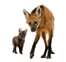 Maned Wolf mom and cub, looking at the camera, Chrysocyon brachyurus, isolated on white