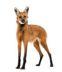 Maned Wolf standing, looking at the camera, Chrysocyon brachyurus, isolated on white