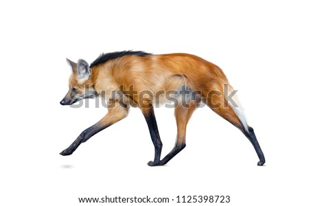 Maned wolf walking isolated over a white background