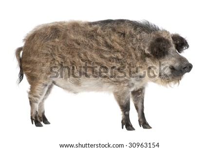Mangalitsa or curly-hair hog in front of a white background. This is a breed of pig grown especially in Hungary and the Balkans