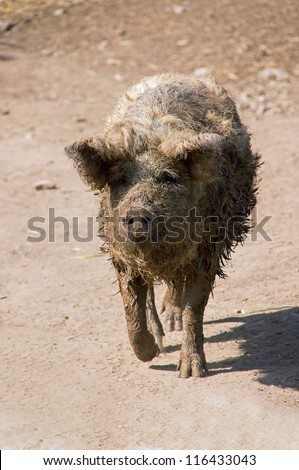 Mangalitza is a Hungarian breed pig that is a close relation to the wild boar.