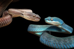 Manggrove pit viper closeup face on branch ready to attack, blue viper and mangrove pit viper face to face