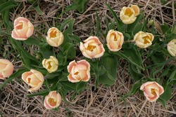 Mango Charm tulips (Tulipa). Tulip Festival in Volyn region Ukraine. Top view.