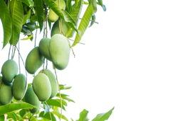 mango fruit  on tree isolate on white