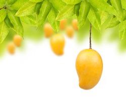 Mango fruit on tree isolated white background