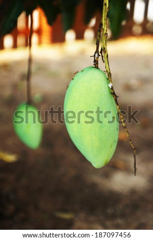 Mango fruits on a tree