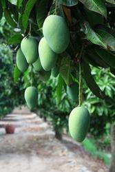 Mango hanging on tree