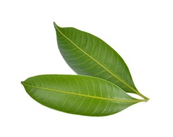Mango leaf on a white background