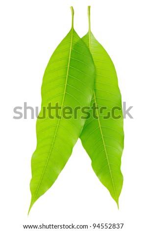 mango leaf on  white background