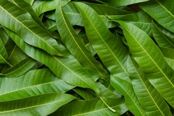 Mango leaves background