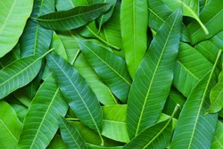 Mango leaves from tree , top view / Green seamless mango leaf texture background