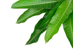 Mango leaves on a white background