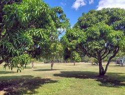 Mango orchard, horizontal.