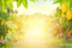 Mango tree and farm Blur background