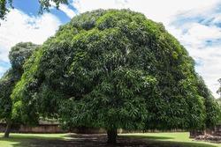 Mango tree in historical park Thailand