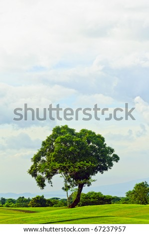 Mango tree in the middle of a golf course - stock photo