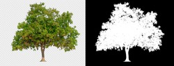 Mango tree on transparent background with clippings path and alpha channel