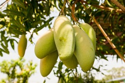Mango tree with full of fruits