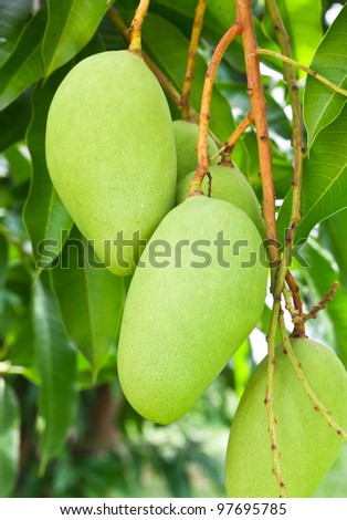 Mango tree with full of fruits