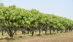 Mango trees growing in a field in Thailand
