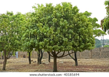 Mango trees in Upper West Region of Ghana Africa