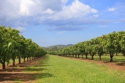 Mango trees on farm. Alley of mango trees. Fruit garden, orchard