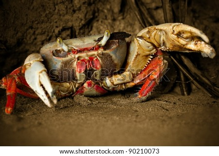 MANGROVE CRAB ATTACKING WITH HIS POWERFUL PLIERS