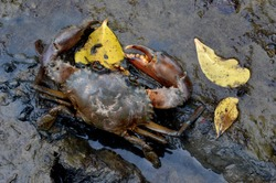 mangrove crabs in the mud
