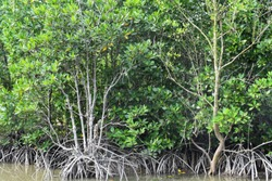 Mangrove Ecosystem in Percut Sei Tuan, Deli Serdang, Indonesia
