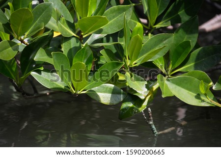Mangrove foliage at the Linderalique Lagoon close to Hienghene, New Caledonia, Overseas Territory of France