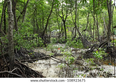 Mangrove forest at don hoi lot , samut songkhram , Thailand