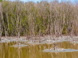 Mangrove forest degraded.Mangrove degradation from being cut