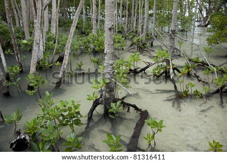 Mangrove forest in Seychelles Curieuse island