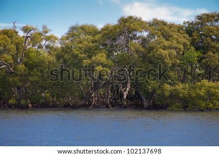 Mangrove forest in the ocean water, near Gold Coast, Queensland, Australia