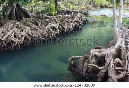 Mangrove forests ( swamp ) with river