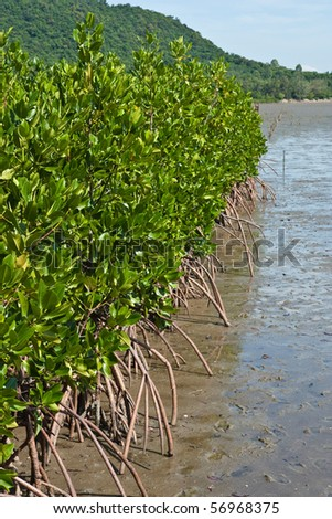Mangrove in eastern of thailand