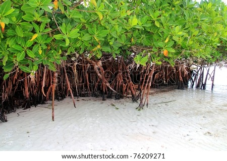 Mangrove plant in sea shore aerial roots Caribbean sea Mexico