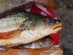 Mangrove red snapper fish (Lutjanus argentimaculatus) at Indonesia traditional market.