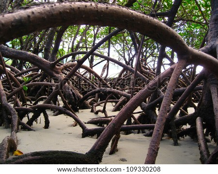 Mangrove Root in Queensland, Australia