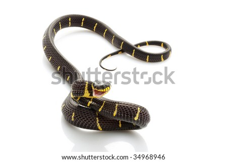 Mangrove Snake (Boiga dendrophila) isolated on white background.