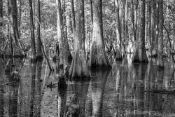 Mangrove swamp in Wakulla Springs State Park, Florida USA