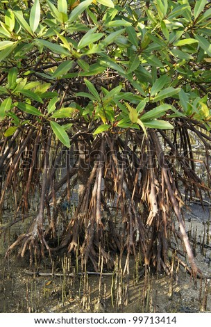 Mangrove tree - stock photo