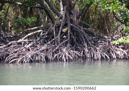 Mangrove tree at edge of Linderalique Lagoon near Hienghene, New Caledonia, Overseas Territory of France