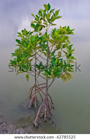 Mangrove tree at ocean beach