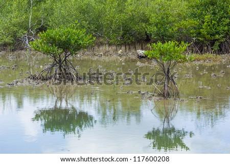 mangrove tree at sea coast