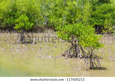 mangrove tree at sea coast